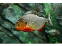 3 Red-Bellied Piranha