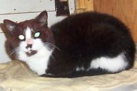 """Adult Male Cat - Domestic Short Hair-black and white: """"TUCKER"""""""