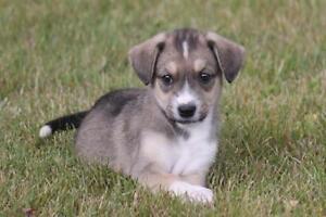 """Baby Male Dog - Border Collie: """"Dawsyn"""""""