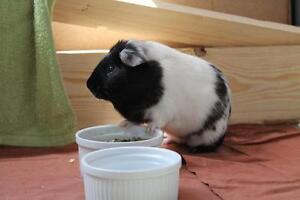 "Young Male Small & Furry - Guinea Pig: ""Zeus and Oreo"""