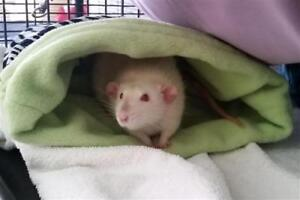 "Young Male Small & Furry - Rat: ""Martin *adoption Pending"""