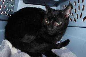 "Young Male Cat - Domestic Short Hair: ""Bruce"""