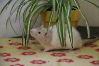 "Young Male Small & Furry - Rat: ""Lotus & Bonsai"""