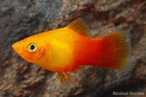 (3pk) Emerald Eyed Pineapple Sunburst Platy (Xiphophorus maculatus) Moon Fish
