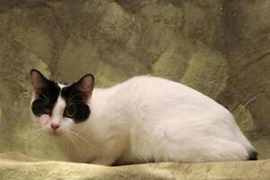"Adult Female Cat - Domestic Short Hair-black and white: ""Cappy"" London Ontario image 3"