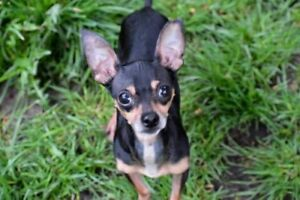 Adult Male  - Miniature Pinscher-Chihuahua