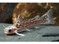 Wood cat fish