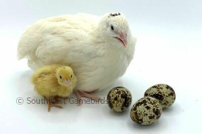 15 James Marie Farms Jumbo White Coturnix Quail Hatching Eggs