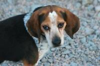 """Adult Male Dog - Beagle: """"Chevy"""""""