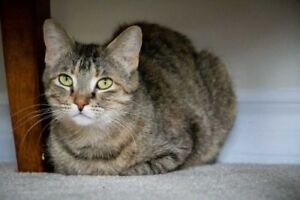 "Adult Female Cat - Domestic Short Hair: ""Kingy W"""
