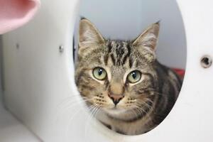 """Young Female Cat - Tabby - Brown: """"Isabella"""""""