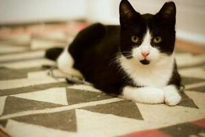 Young Male  - Domestic Short Hair-black and white