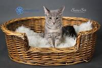 """Young Male Cat - Domestic Short Hair: """"Dexter"""""""