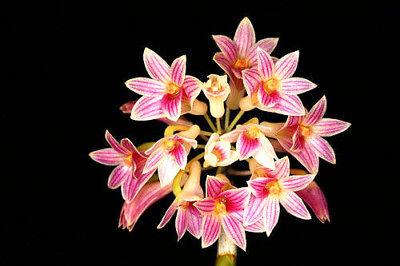 Dendrobium usitae Red Coral, orchid species