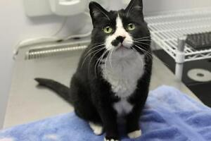 Adult Male  - Domestic Medium Hair-black and white-Tuxedo