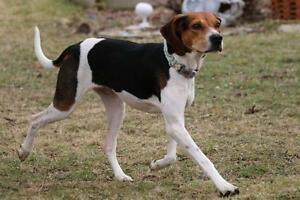 Young Female  - Treeing Walker Coonhound-Hound