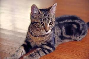 Young Female  - Tabby - Brown-Tabby London Ontario image 1