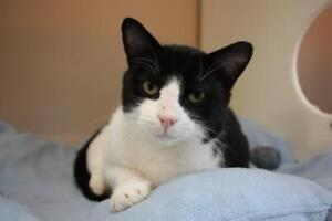 "Adult Male Cat - Domestic Short Hair: ""Archie"""