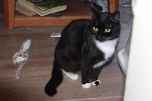 """Adult Female Cat - Domestic Short Hair: """"Twinkle Toes"""""""