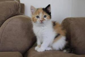 """Baby Female Cat - Domestic Short Hair: """"Nugget"""""""