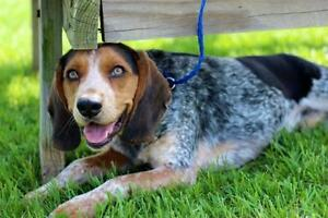 """Young Male Dog - Coonhound: """"FOSTERS NEEDED!"""""""