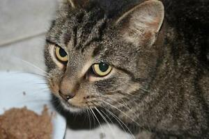 "Adult Female Cat - Domestic Short Hair - brown: ""Goldie"""