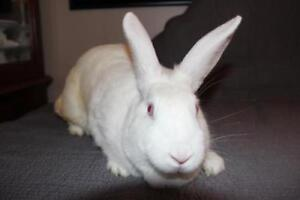 "Adult Female Rabbit - New Zealand: ""Butterscotch"""