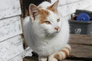 "Adult Male Cat - Tabby (Orange)-Tabby (White): ""Ringo"""