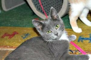 "Baby Male Cat - Domestic Short Hair: ""Prince Eric"""