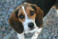 "Adult Female Dog - Beagle: ""Audi"""