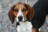 """Adult Male Dog - Beagle: """"Henry Ford"""""""