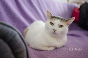 "Adult Female Cat - Domestic Short Hair-Calico: ""Adelaide"""