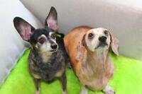 "Senior Female Dog - Dachshund: ""Bee & Lucas"""
