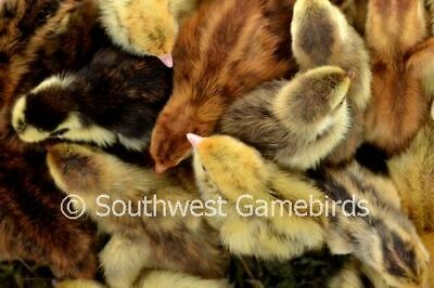 30 Rare Quail Hatching Eggs Coturnix Npip