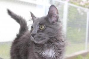 """Baby Female Cat - Domestic Long Hair: """"Acme and Wylie"""""""