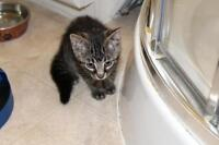 Baby Male  - Domestic Short Hair - brown-Tabby - Brown