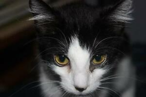 "Young Female Cat - Domestic Short Hair-black and white: ""Coco"""