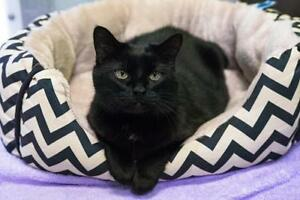 "Senior Female Cat - Domestic Short Hair-black: ""Miss Beethoven"""