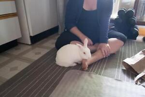 """Adult Female Rabbit - Florida White: """"Penny"""" Cambridge Kitchener Area image 1"""