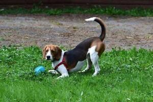 "Young Male Dog - Beagle: ""Cooper"""