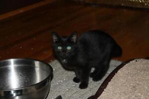 "Adult Female Cat - Domestic Short Hair-black: ""Callie"""