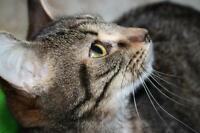 "Young Female Cat - Tabby - Brown: ""Melody"""