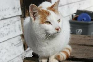 "Adult Male Cat - Tabby - Orange-Tabby - white: ""Ringo"""