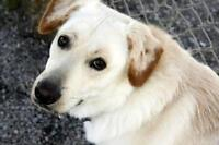 """Young Male Dog - Retriever: """"Whiskey"""""""