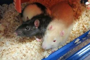 "Adult Male Small & Furry - Rat: ""Lennon"""