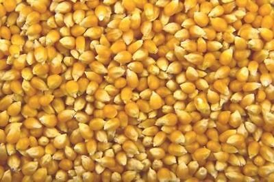 Dried Corn Kernels for making Pop Corn! BEST Quality Indian