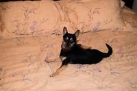 """Adult Male Dog - Chihuahua-Miniature Pinscher: """"Buster"""""""