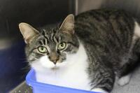 "Adult Male Cat - Domestic Short Hair: ""Abel"""