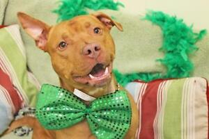 """Adult Male Dog - American Staffordshire Terrier: """"Jake"""""""