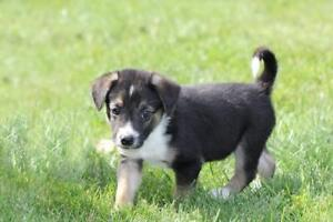 """Baby Male Dog - Border Collie: """"Cashe"""""""